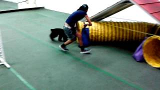 Junior Cocker Spaniel Agility Training Beginner 05/17/2015 With His Friends