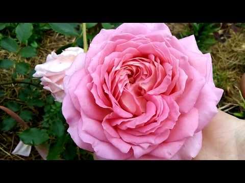 Цветение роз 2019г.🌹