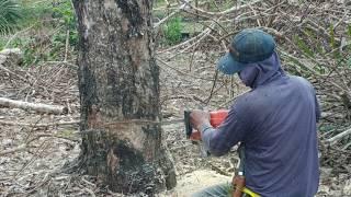 Trik Menebang Pohon Menggunakan Gergaji Mesin Mini
