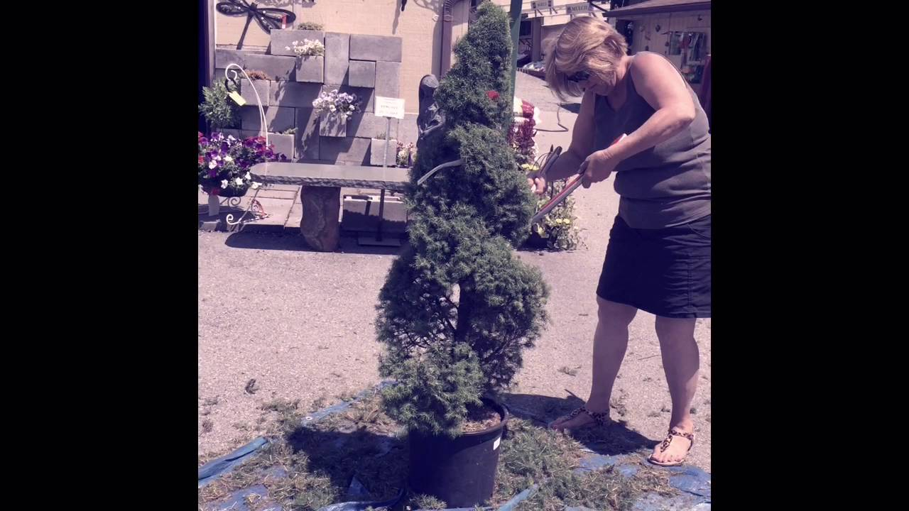 How To Spiral Cut An Alberta Spruce Youtube