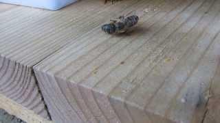 9月に入居した群れの女王蜂が息絶えました。 最期の力を振り絞っての引...
