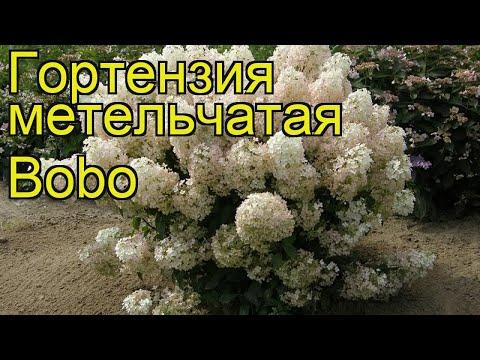 Гортензия метельчатая Bobo. Краткий обзор, описание характеристик, где купить саженцы, крупномеры