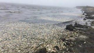 Massensterben von Heringen auf Russlands Sachalin-Insel