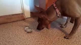 Забавные животные: хомяк притворяется мертвым при виде собаки