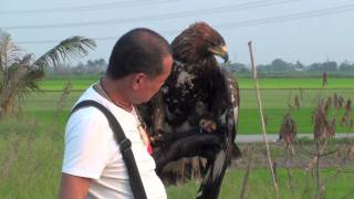 Golden Eagle Training, 2nd Week Free Fly