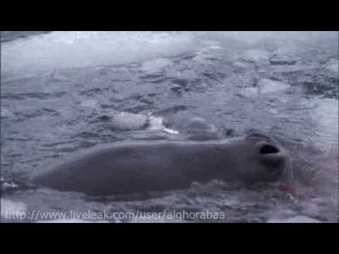 Leopard Seal vs Penguin Chick