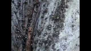 Les acariens Ixodidae, ces monstres miniatures. Dangers pour les animaux en milieu tropical.