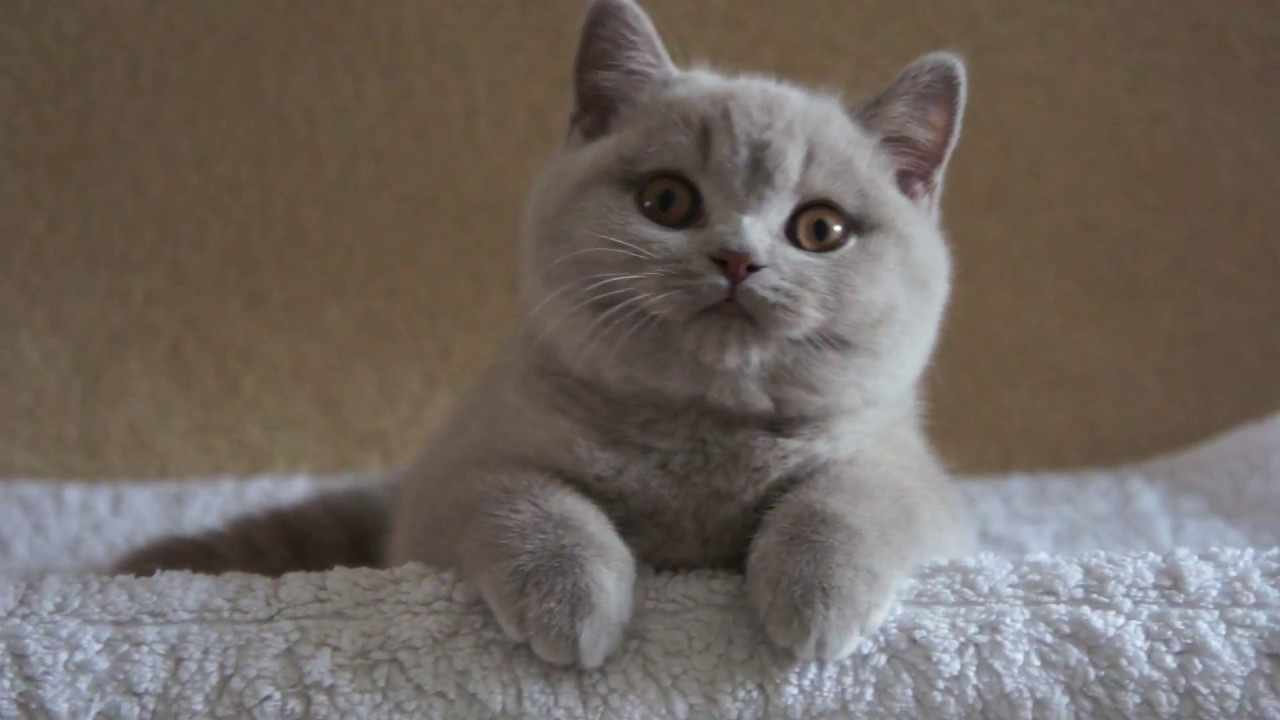 Kot Brytyjski Liliowy Harriet British Shorthair Cattery Youtube