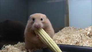 ハムスターがヤングコーンを丸ごと頬袋に詰め込みます(Young corn hams...