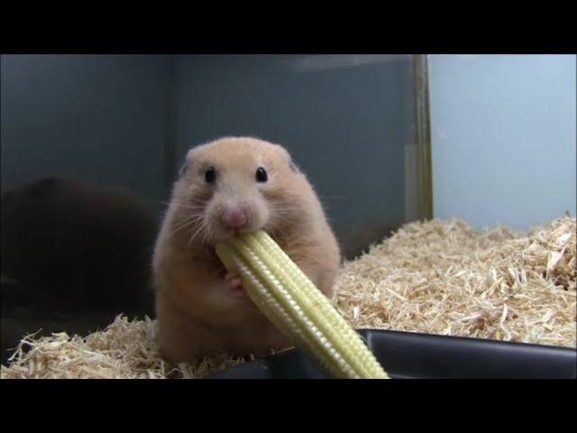 ヤングコーンを丸ごと詰め込むハムスター(Young corn hamster)