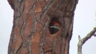 Swfl Eagles_the Pileated Woodpeckers Appear To Be Nesting 4-14-14