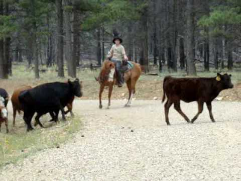 Taos Journal - Blue Heeler herding cattle