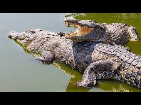 Crocodiles fighting on the Black River Safari