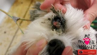 Cleaning your dogs eyes