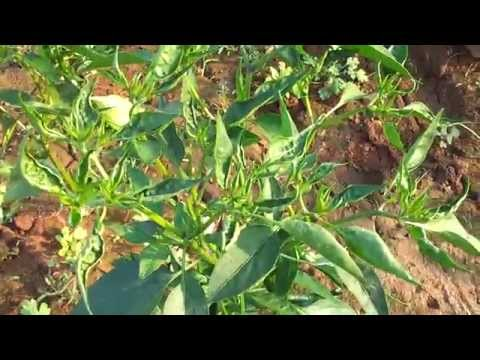 THRIPS & MITES damage in CHILLIES - YouTube