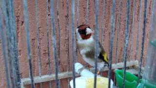 طائر حسون بالمغرب يأكل البيض