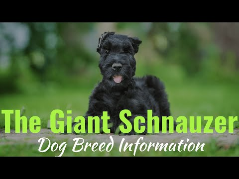 Giant Schnauzer | Dog Breed Information