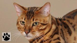 Породы кошек - Бенгальская кошка. [Bengal (Cat Breed)]