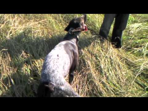 German Shorthaired Pointer Pheasant  Hunting
