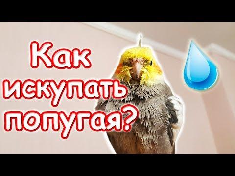 Как мыть попугая