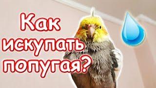 Как правильно купать попугая? Приучение попугая к купанию. | Рокки Life