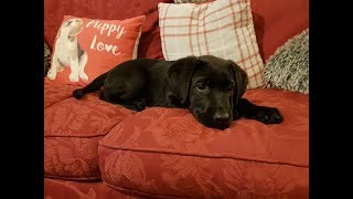 Rolo - 12 Week Old Labrador Puppy - 2 Weeks Residential Dog Training