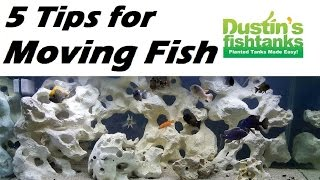 5 Tips for Moving Fish, Tank Swap Part 2. Cichlids on a Sunday