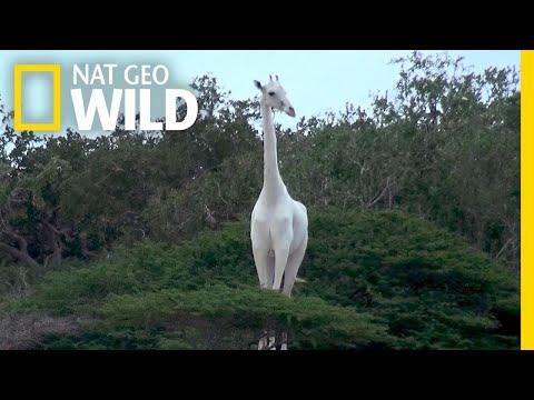 See a Pair of Rare White Giraffes | Nat Geo Wild