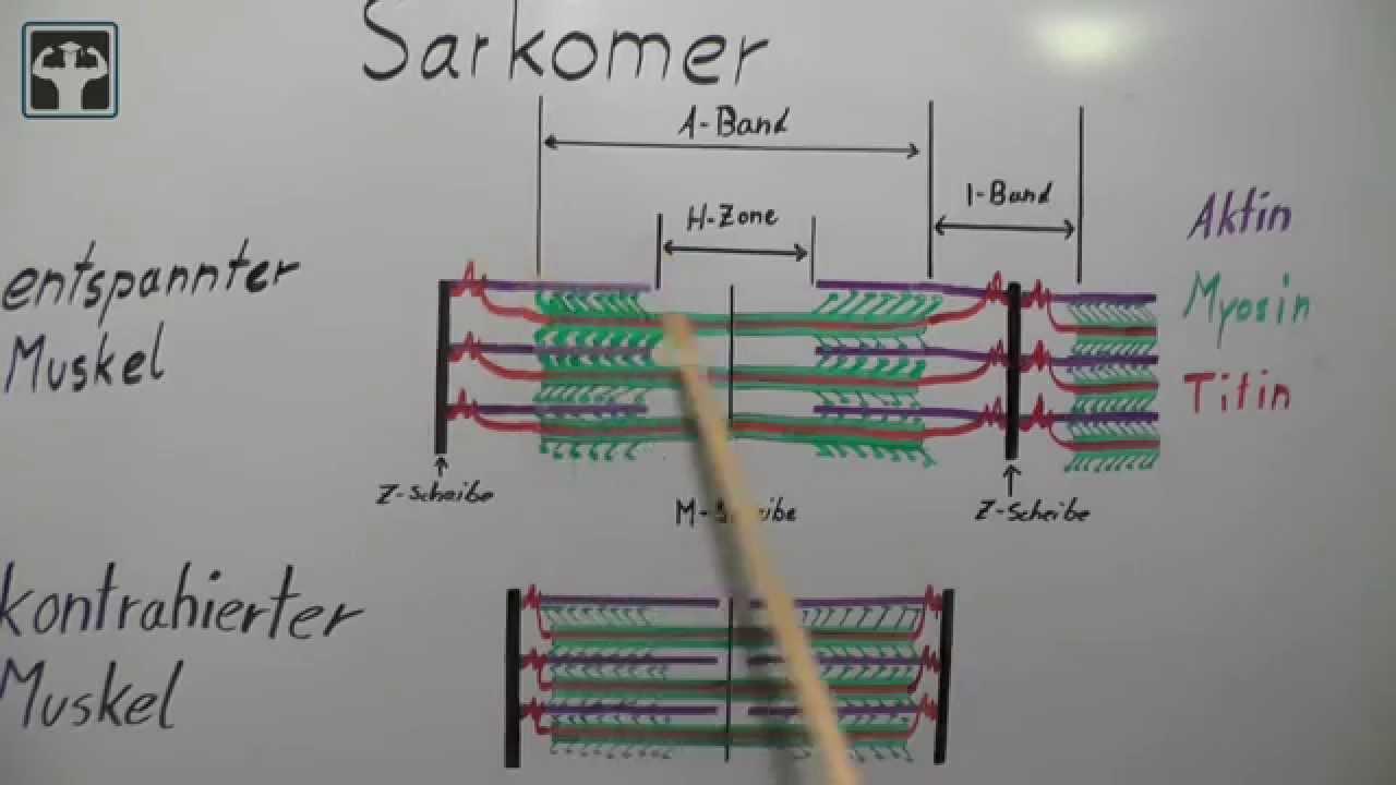 Gleitfilamenttheorie Teil 1 - YouTube