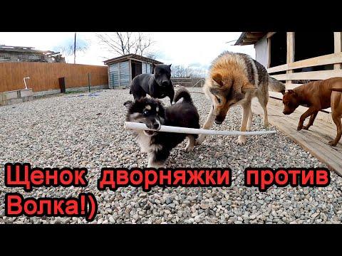 Видео: Щенок дворняжки против волка!!!) Колобок еще малявка, запоздалое видео, 1 часть.