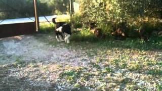 Ελληνικο τσοπανοσκυλο