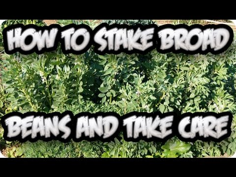 how to grow broad beans youtube