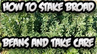 How To Stake Your Broad Beans And Take Care Of Their Growth || Toni's Organic Vegetable Garden