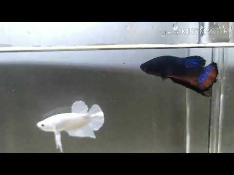 Ikan cupang white platinum vs hellboy - YouTube