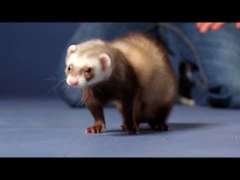 Boo the Ferret - A Story From Petco