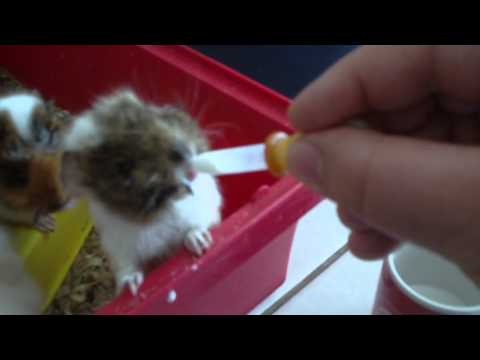 How to feed baby guinea pigs milk !!!