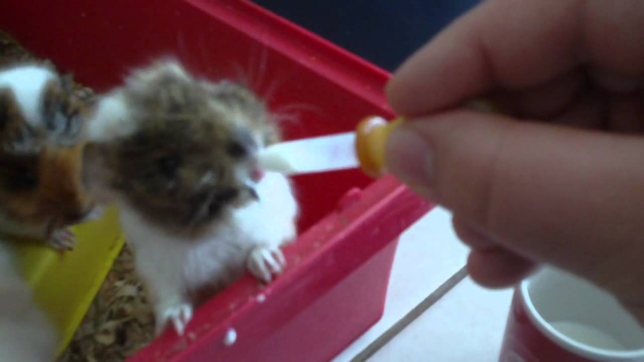 What To Feed A Hamster