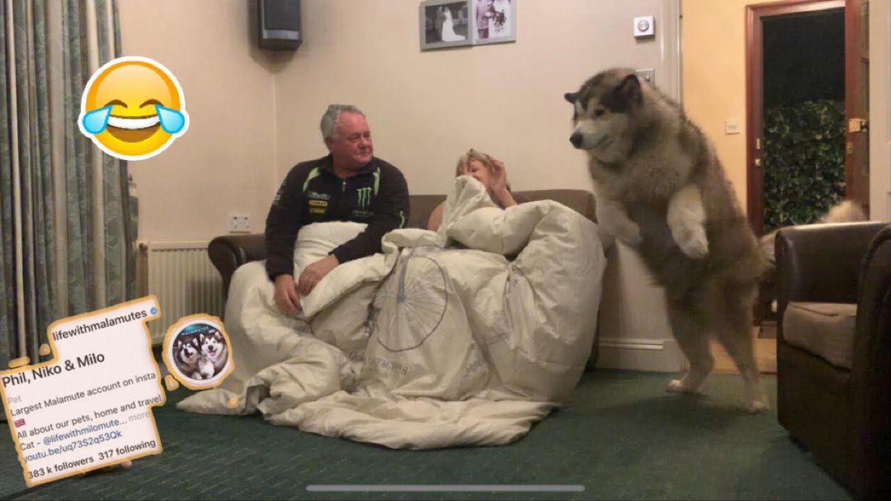 Phil And Niko Play Hide And Seek Suprise Youtube Все видео life with malamutes. phil and niko play hide and seek suprise