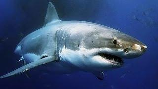 Док фильм про акул людоедов - The Best Documentary Ever
