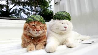 Кошка с арбузом - Арбузный шлем для кота 2017