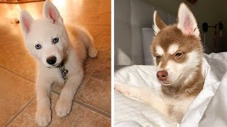 Funny And SOO Cute Husky Puppies Compilation #7  Cutest Husky Puppy
