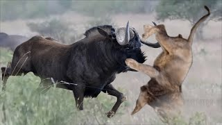 Clever Wildebeest Fight Defeated Powerful Lion