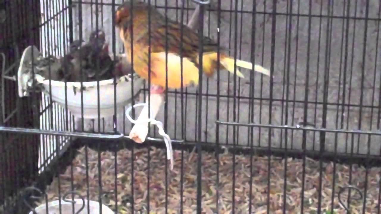 R T Pointer Norwich norwich canary with yo...