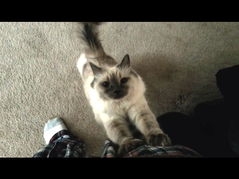 Cats Demanding Attention Compilation
