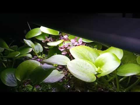 Лимнобиум побегоносный Limnobium stoloniferum