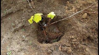 Быстрая и удобная посадка и пересадка винограда осенью.Подготовка посадочных ям для винограда.
