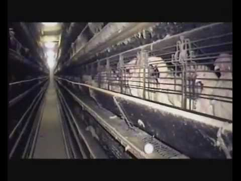 The REAL Egg Industry - (part 1 of 5) - Fowl Play Documentary.