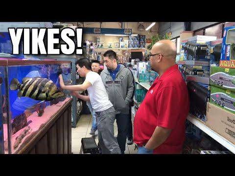 RARE GIANT TIGER FISH FOUND IN HOUSTON, TEXAS