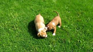 Amstaff puppies.MOV