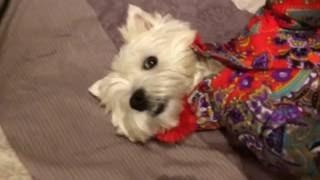 смешная собака, смешной вестик, вестик в костюме (Мерри)
